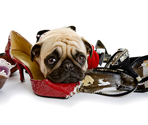 Board dog with chewed shoes